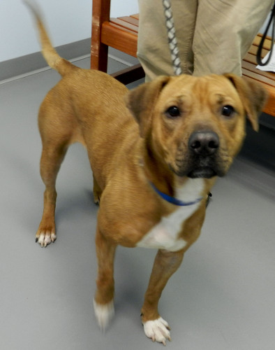 Goodness, a  1 1/2 year old Shar Pei pit mix, is at the Winchester SPCA and has a lot of energy to give to her new family. Kaley Toy/Daily